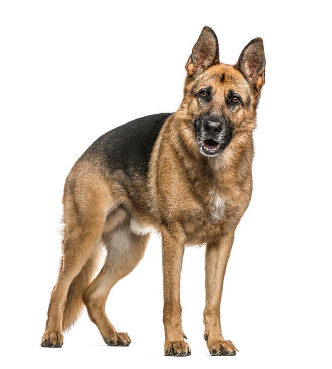 schäfer hund